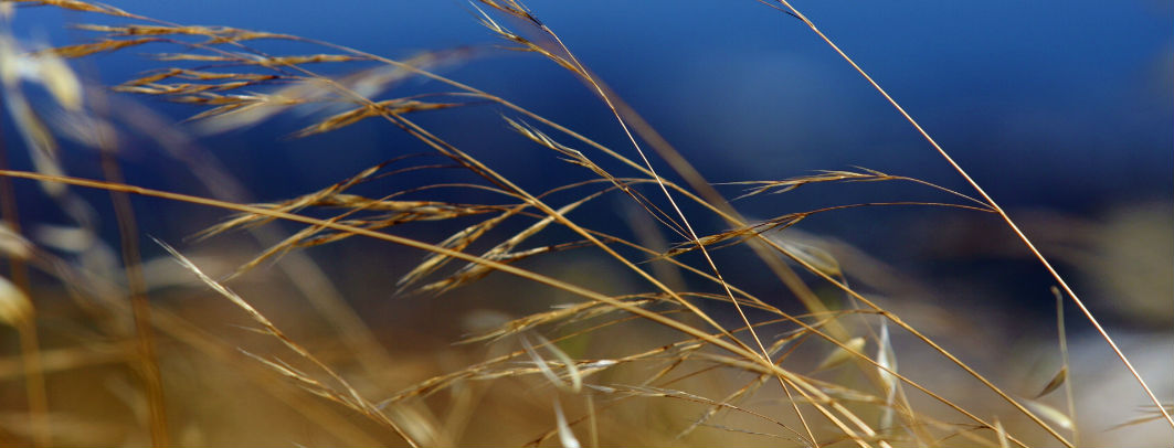 image of long, golden grass blowing in the wind against a blue sky